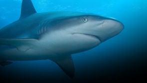 Alerta en América: Tiburones
